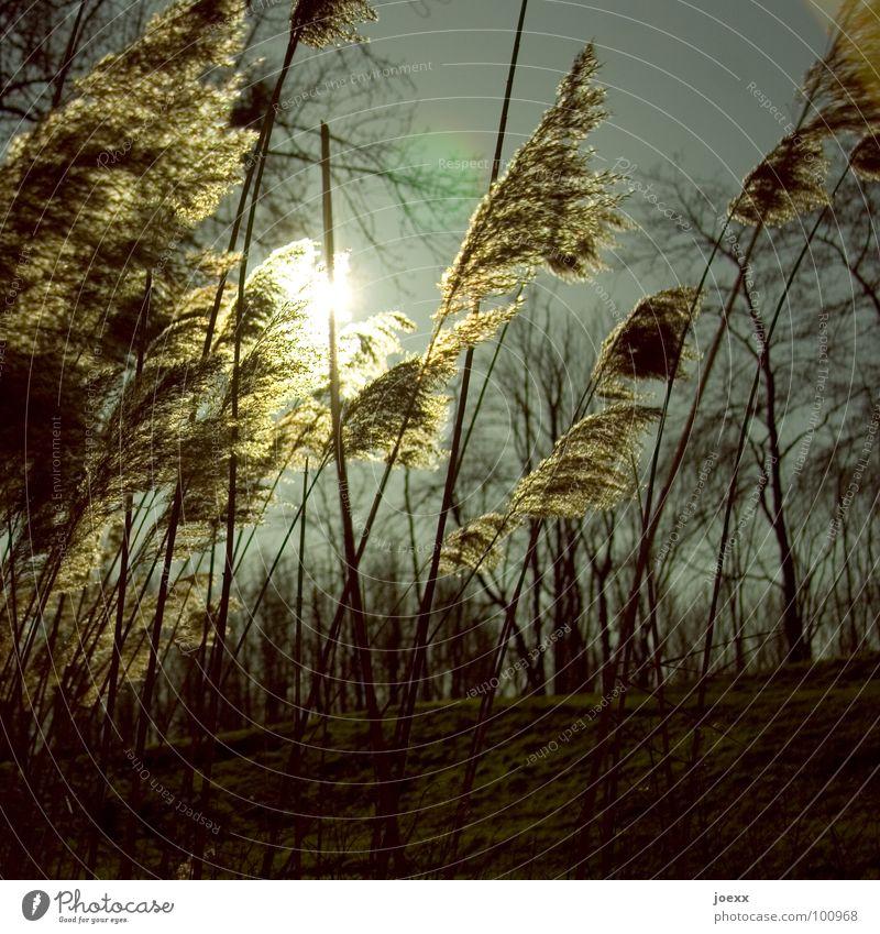 Sommerschilf Gegenlicht Gras Schilfrohr briese Himmel sanft sommerbriese Sonne Wärme Wind