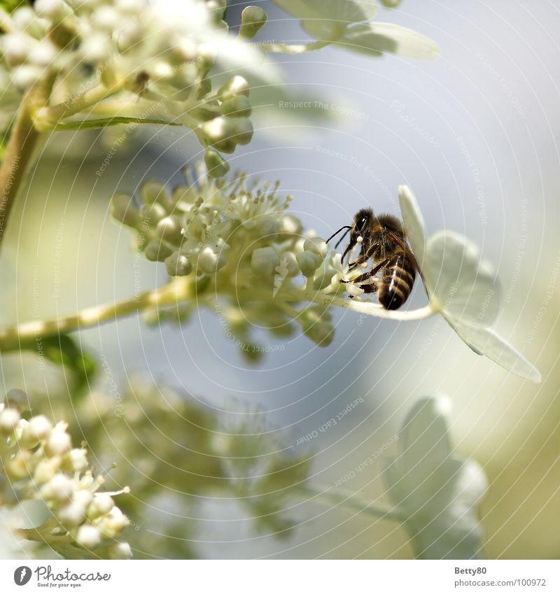 Fleißig ohne Ende II Insekt Biene Blume Staubfäden Blüte Sammlung Suche fleißig genießen Kosten Sommer Makroaufnahme Nahaufnahme Natur Nektar Blühend