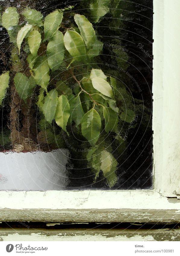 Lackaffe Farbfoto Außenaufnahme Tag Gemüse Topf Entertainment Pflanze Baum Fenster grün weiß Fensterrahmen Glasscheibe alte Farbe Lack ab Butzenscheiben