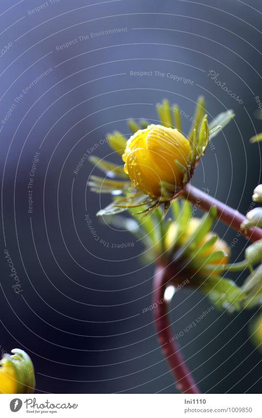Winterling Natur Pflanze Wassertropfen Wetter schlechtes Wetter Regen Blume Blatt Blüte Wildpflanze Winterlinge Garten Park Wiese außergewöhnlich dunkel nass
