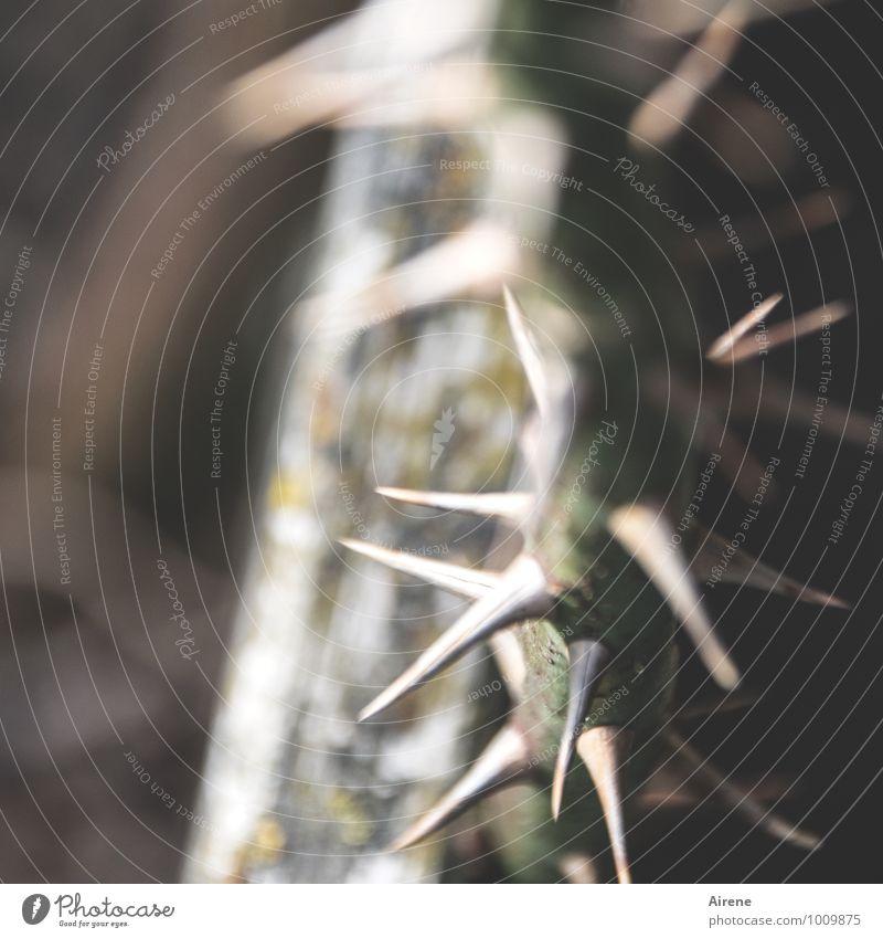 der Weg nach oben Dorn Rosenstrauch Kletterrose Ranke Stachel Holz Zeichen Spitze stachelig braun grau grün Schmerz Aggression stechen Stich Gedeckte Farben