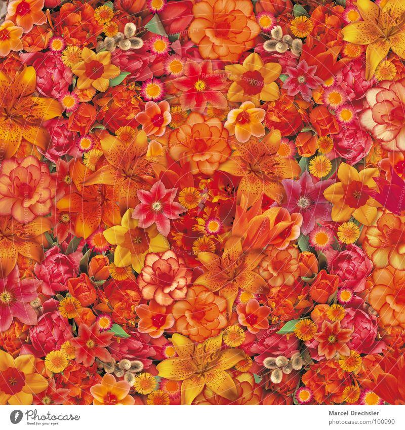Blumenbouquet rot gelb Blüte Frühling orange Blumenstrauß Tulpe Gänseblümchen Mischung Orchidee Narzissen Weidenkätzchen Huflattich