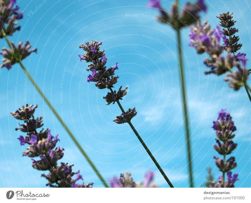Li La Vendel Lavendel Wolken Halm Unschärfe Froschperspektive hell-blau Gras ökologisch rein Feld luftig Biene Blume violett Hummel Sammlung Suche grün Blüte