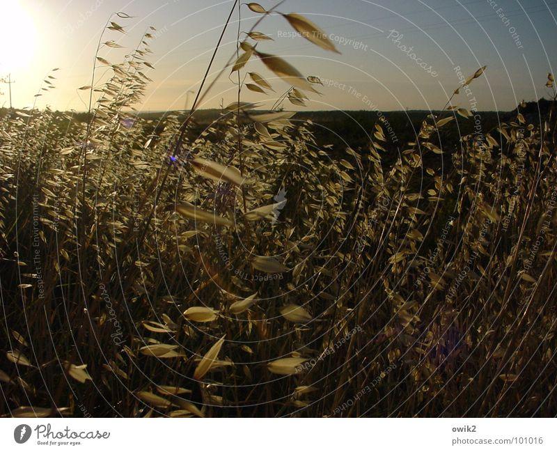 Halme im Wind Natur Himmel Sonne Pflanze Sommer Bewegung Landschaft Beleuchtung Wind Horizont Getreide Halm erleuchten Abenddämmerung Feierabend