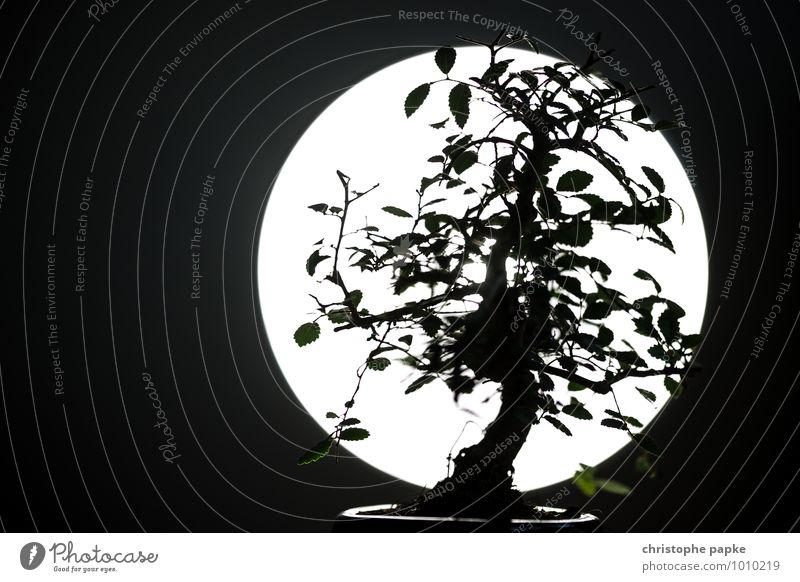 Bonsai Tomodachi Pflanze Baum Blatt Grünpflanze Blühend Wachstum dunkel Silhouette Asien Japanisch Vollmond Botanik Schwarzweißfoto Gedeckte Farben