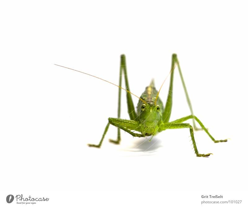 Heupferd Grünes Heupferd Heuschrecke grün hüpfen springen