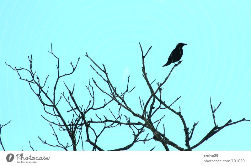 crehe1 Natur Himmel Baum Vogel Sträucher beobachten Ast Zweig Rabenvögel Krähe hellgrün grün-blau