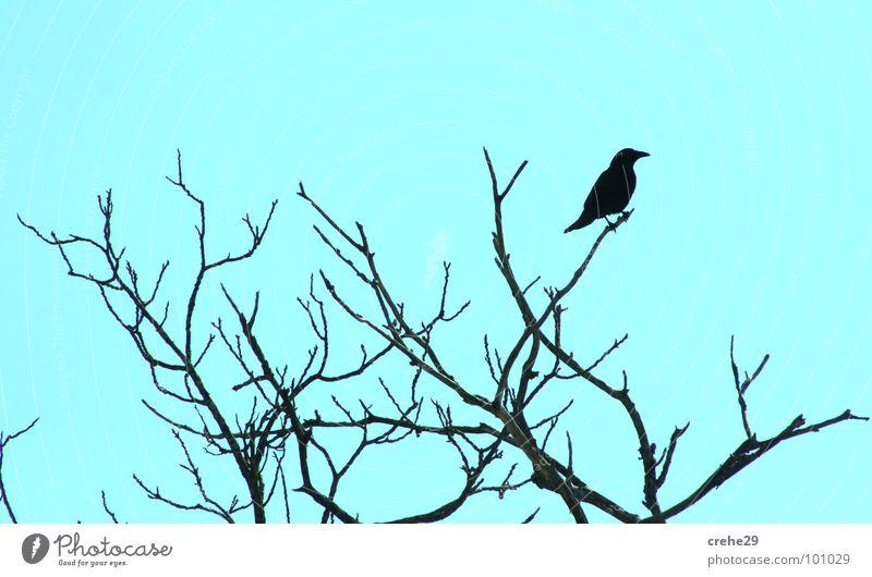 crehe1 Sträucher Krähe grün-blau hellgrün Baum Vogel Rabenvögel krehe Zweig Ast kucken beobachten Himmel Natur