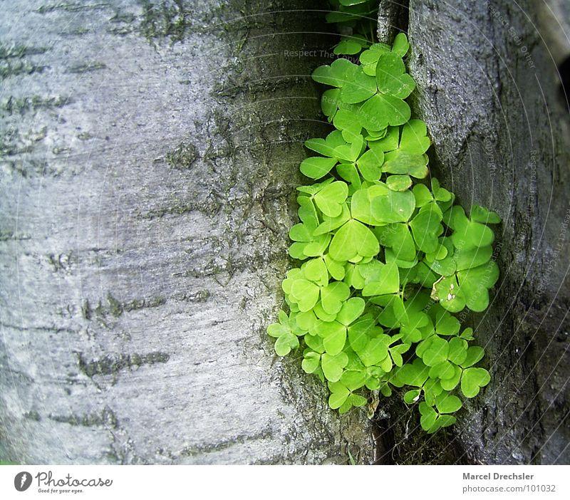 Sauerklee in der Furche Klee grün Baum Baumrinde Zwischenraum grau Pflanze Frühling schön Raum Spalte Natur Glück optimistisch Otimismus