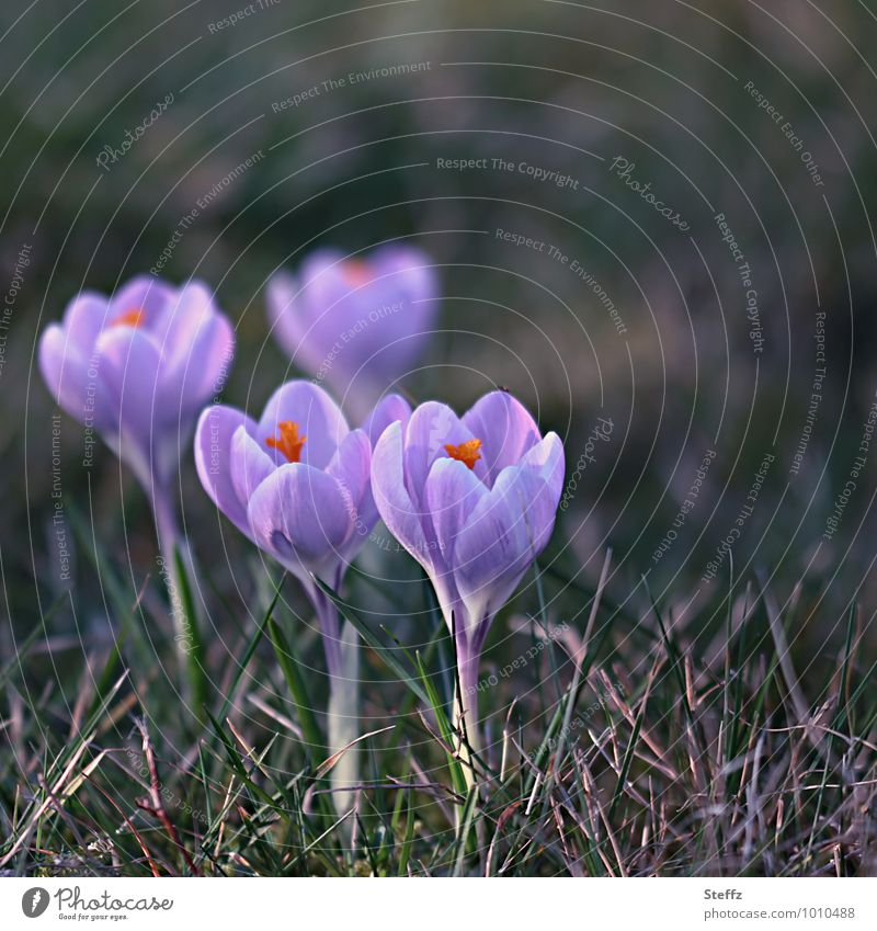 vier Krokusse unter sich zu viert Frühlingsblumen Frühlingskrokusse Frühblüher Vorfreude März zusammenwachsen Frühlingsboten Frühlingserwachen Frühlingsgefühl