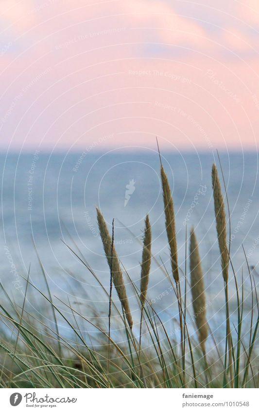 Schilf an der Düne Umwelt Natur Pflanze Wasser Sonnenaufgang Sonnenuntergang Sommer Gras Küste Strand Nordsee Meer natürlich schön blau grün rosa Egmond