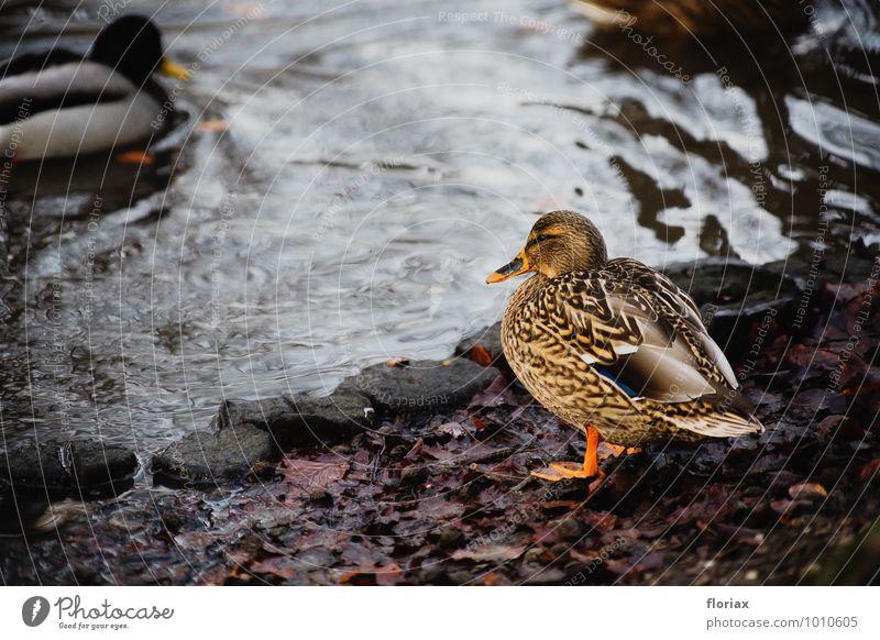die ente genießt die natur Natur Wasser Erholung ruhig Tier Umwelt Schwimmen & Baden braun Vogel Park Zufriedenheit Wildtier Tierpaar Feder beobachten Hoffnung