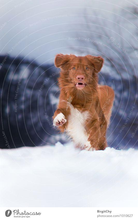 Bagizo Winter Schnee Tier Haustier Hund 1 laufen rennen Nova Scotia Duck Tolling Retriever Farbfoto Gedeckte Farben Außenaufnahme Menschenleer Tag Blick