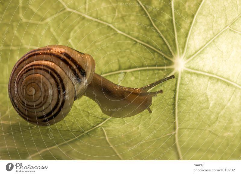Elegant Blatt Kapuzinerkresseblatt Tier Wildtier Schnecke Schneckenhaus Weinbergschnecken Fühler langsam 1 Spirale Bewegung einfach Ekel gruselig klein