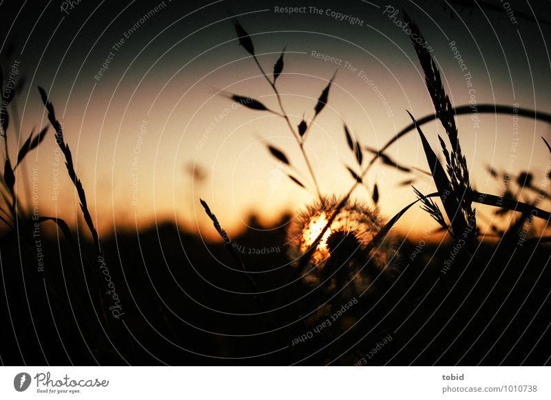 Summertime Natur Landschaft Pflanze Himmel Wolkenloser Himmel Horizont Sonne Sommer Schönes Wetter Sträucher Löwenzahn Wiese Feld Blühend leuchten elegant hell