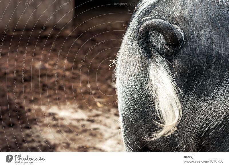 Ich kringel mich Tier Nutztier Schwein Schwanz 1 hängen authentisch einfach Hemmung Ekel Irritation Behaarung Windung Ringelschwanz Schweinehintern Hinterteil