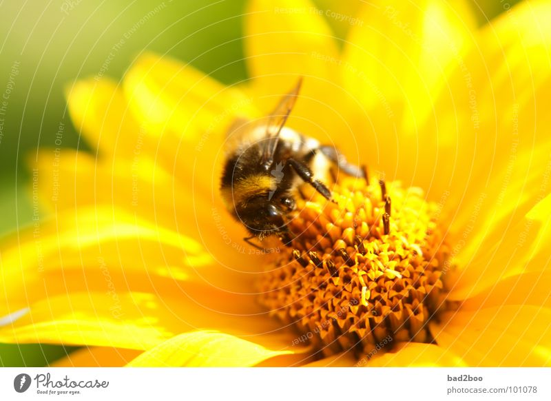Mahlzeit Natur Blume Pflanze Ernährung Tier Blüte Lebensmittel nah Insekt Sammlung Hummel bestäuben