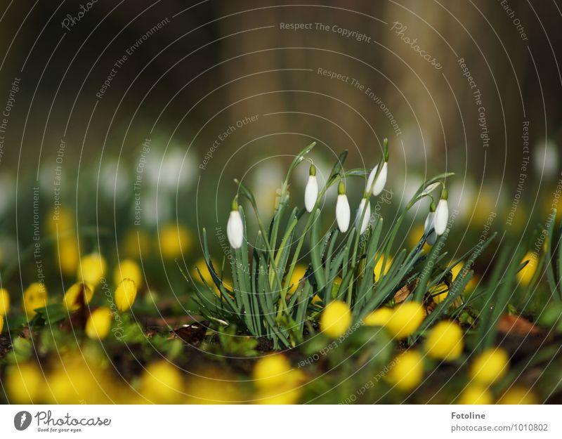 Bald ist wieder Frühling! Umwelt Natur Landschaft Pflanze Schönes Wetter Blume Blüte Garten Park hell klein gelb grün weiß Schneeglöckchen Winterlinge
