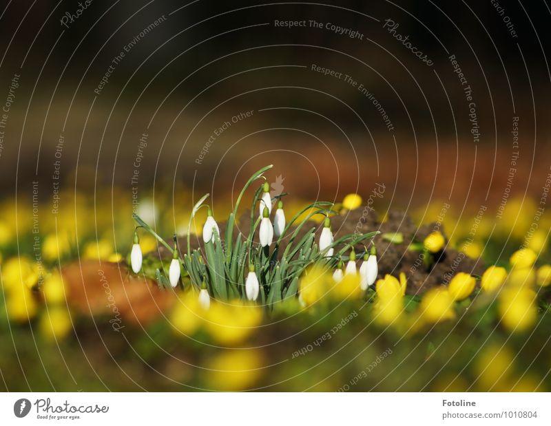 Frühlingserwachen Umwelt Natur Pflanze Urelemente Erde Schönes Wetter Blume Garten Park hell nah natürlich gelb grün weiß Frühlingsblume Frühlingstag