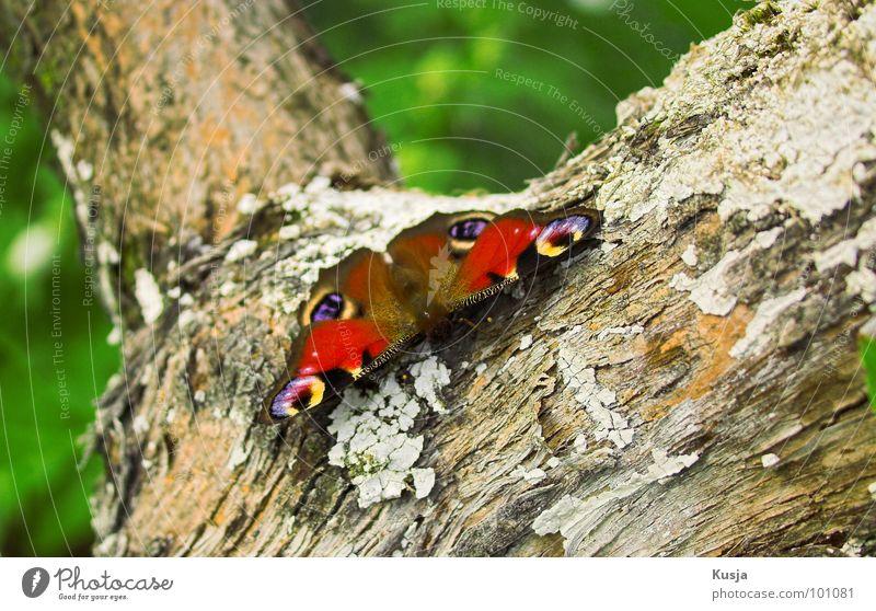 Peacock Butterfly Schmetterling Tagpfauenauge klein Insekt Muster Färbung rot Baum Baumrinde Tier schön leicht Leichtigkeit Flügel Maserung Bündel sitzen warten
