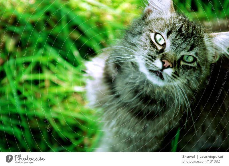 Hey, what are you looking at? Katze Hauskatze Natur Wiese Blick Haustier Landraubtier Mörder Intuition Jäger Nahrungssuche grau Schnurrbarthaare gefährlich Ohr
