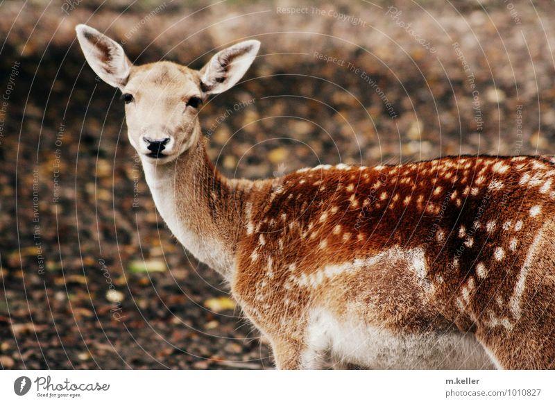 Rehkitz 1 Tier Tierjunges authentisch Hemmung Stolz Farbfoto Tag Schwache Tiefenschärfe