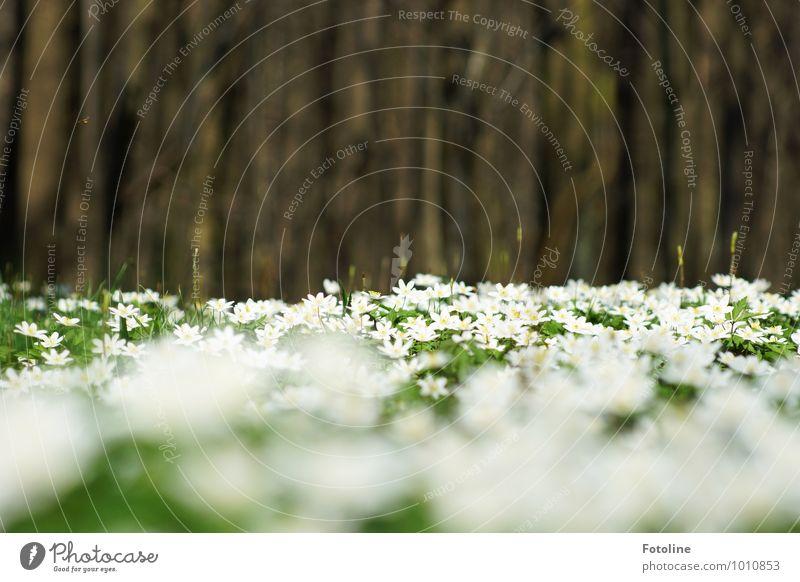Buschwindröschenmeer Natur Pflanze schön grün weiß Baum Blume Wald Umwelt Frühling natürlich hell braun Park Schönes Wetter Frühblüher