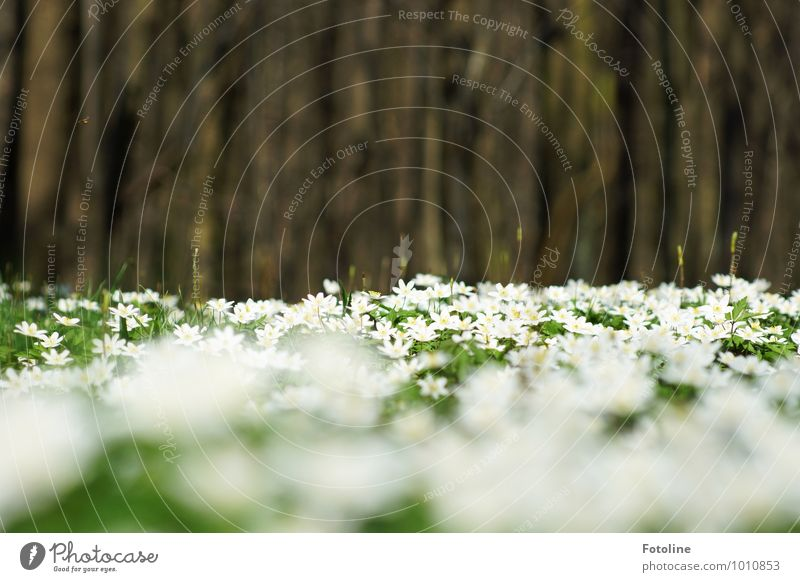 Buschwindröschenmeer Umwelt Natur Pflanze Frühling Schönes Wetter Baum Blume Park Wald hell natürlich schön braun grün weiß Frühblüher Farbfoto mehrfarbig