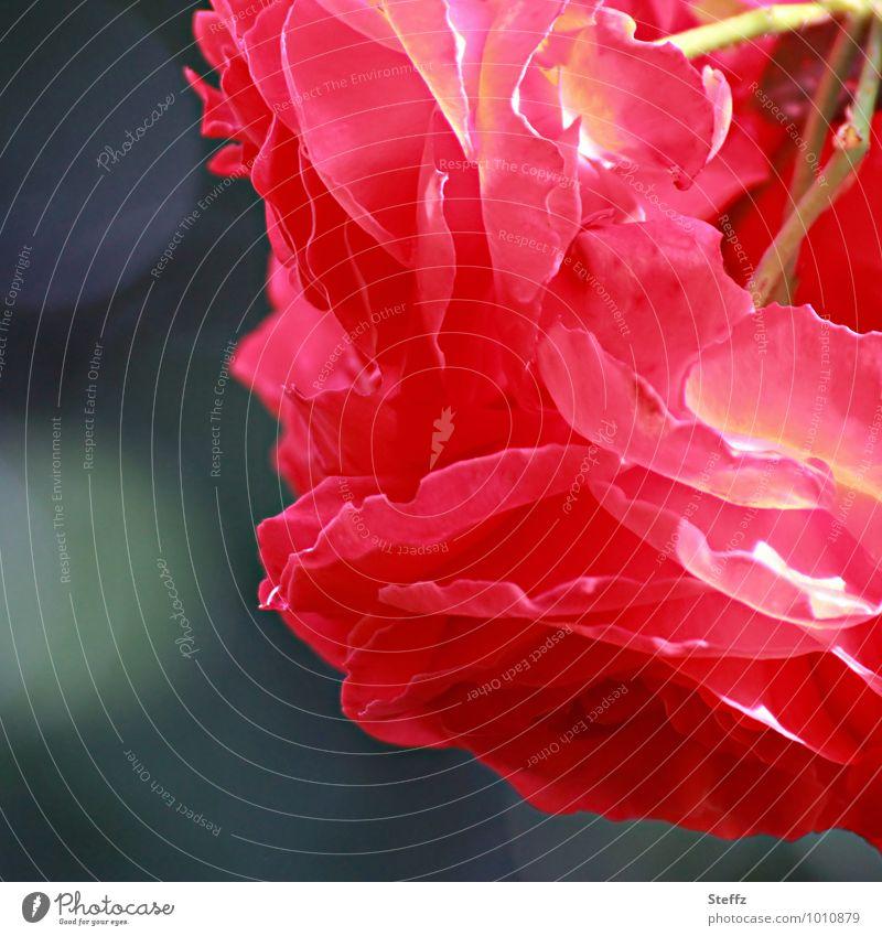 dream me red Natur Pflanze Farbe Sommer Blume rot Blüte Glück Geburtstag Blühend Romantik Postkarte Rose Leidenschaft Duft Valentinstag