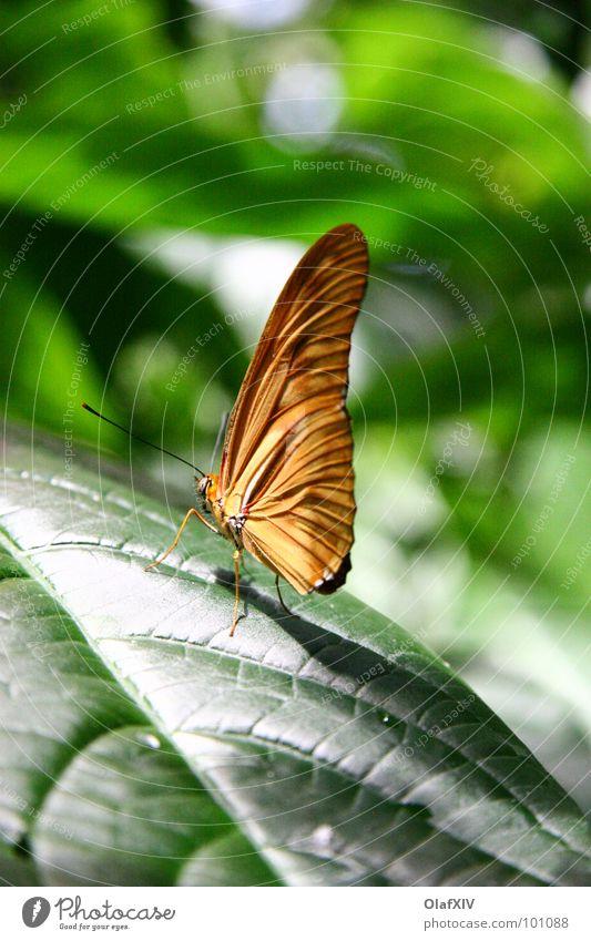 Tropen Schmetterling grün Tiefenschärfe Blatt Unschärfe ruhig Gelassenheit Licht Fühler Urwald schön Zufriedenheit Wärme Schatten sitzen Fuß Flügel Farbe