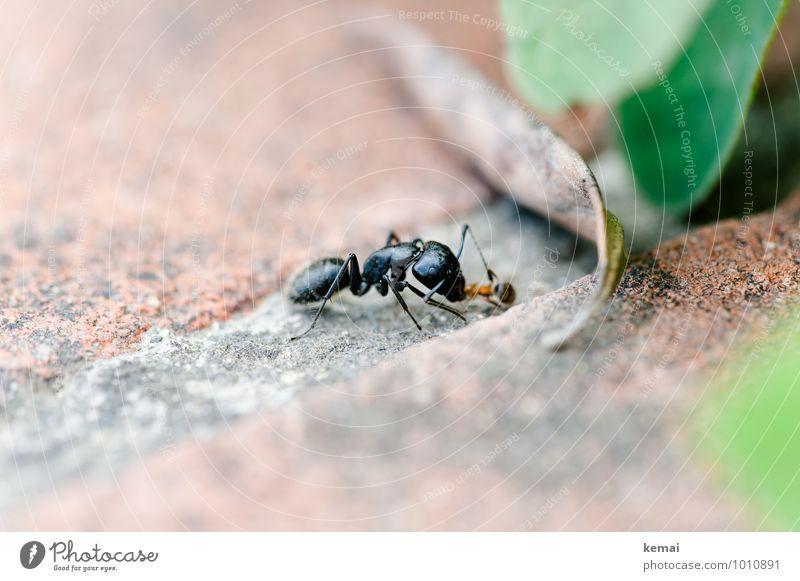 Die Großen fressen die Kleinen Ernährung Umwelt Blatt Grünpflanze Tier Wildtier Insekt Ameise 1 Fressen sitzen gigantisch glänzend groß natürlich schwarz