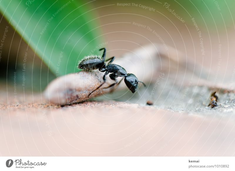 Über Stock und Stein Umwelt Wildtier Ameise Insekt 1 Tier gehen außergewöhnlich gigantisch glänzend groß grün schwarz krabbeln Farbfoto Gedeckte Farben