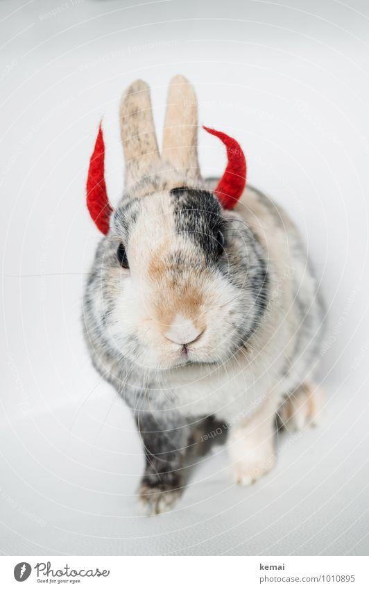 Hell-mut Tier Haustier Tiergesicht Fell Zwergkaninchen Hase & Kaninchen 1 Teufel Teufelshörner Horn Hölle Blick sitzen außergewöhnlich Coolness niedlich