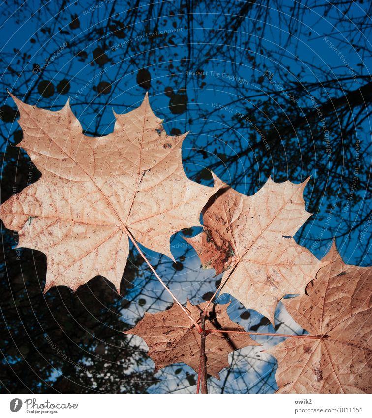 Natur nah Himmel Wolken Pflanze Baum Blatt Wildpflanze Ahornblatt Ahornzweig blau orange schwarz ruhig Idylle Umwelt Verfall Vergänglichkeit Wachstum