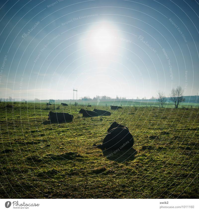 Siesta Umwelt Natur Landschaft Pflanze Tier Wolkenloser Himmel Horizont Klima Schönes Wetter Baum Gras Wiese Weide Nutztier Kuh Wiederkäuer Tiergruppe dick