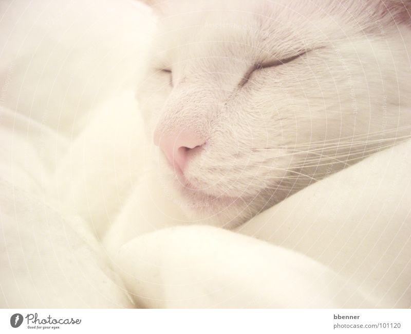 SnowWhite II weiß Erholung Katze Nase schlafen Frieden Fell Säugetier Kissen friedlich
