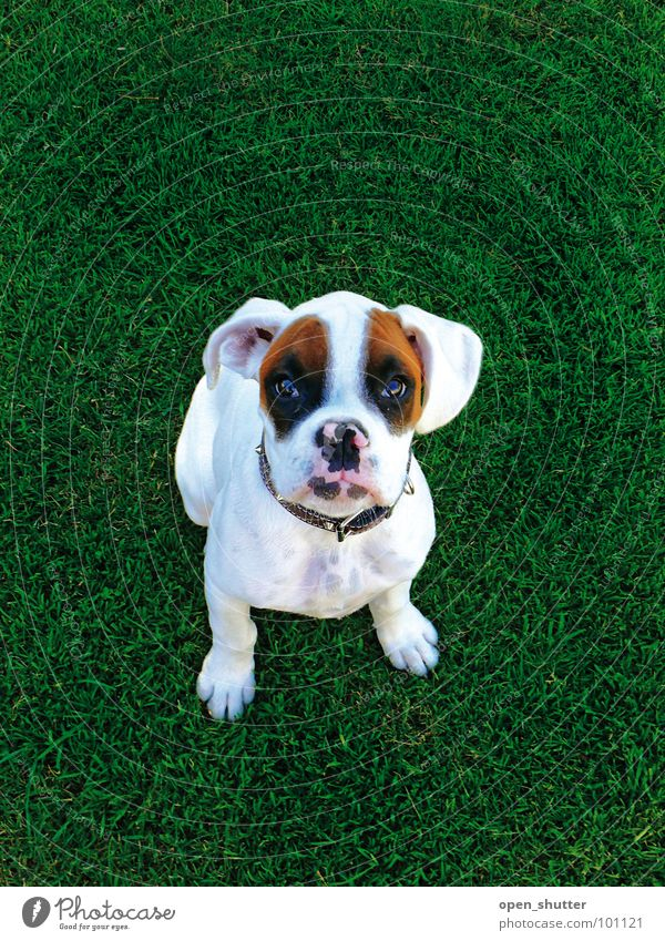 black eyed suzy Tier puppy Boxer dog pet grass cute lawn white dog