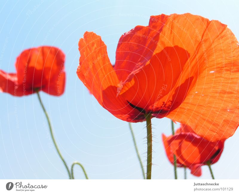 Plissee schön Blume rot Sommer Blüte Feld Mohn
