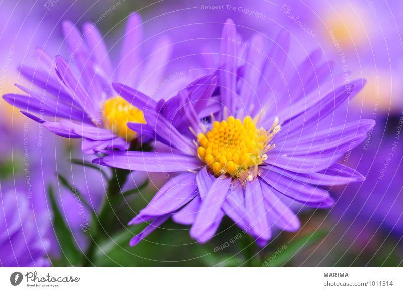 Detail of a purple aster Natur Pflanze Sommer Blume Landschaft ruhig Umwelt Herbst Blüte Garten Park Wachstum frisch planen violett Botanik