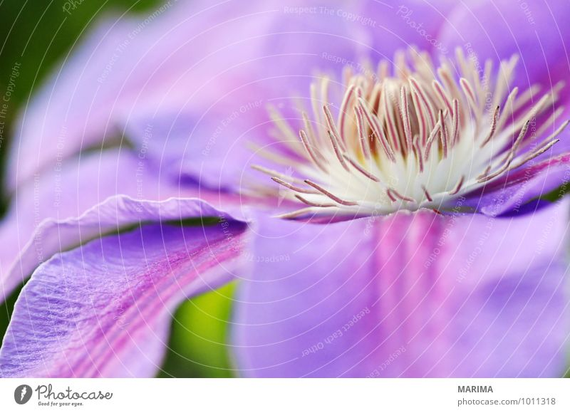 Detail of a lilac clematis Natur Pflanze Blume Landschaft ruhig Umwelt Blüte Garten Park Wachstum frisch planen violett Botanik organisch Fliederbusch