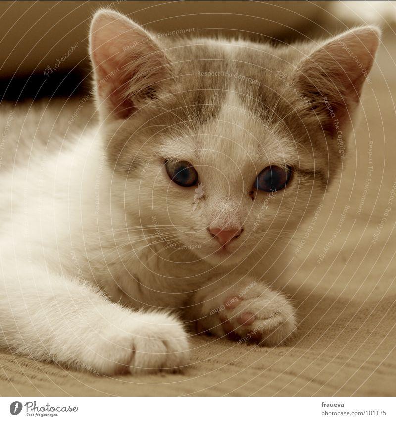 minki Katze Tier Innenaufnahme Schüchternheit Katzenohr Pfote Schnauze kuschlig süß braun weiß Sofa Säugetier cat Farbe Blick Katzenauge
