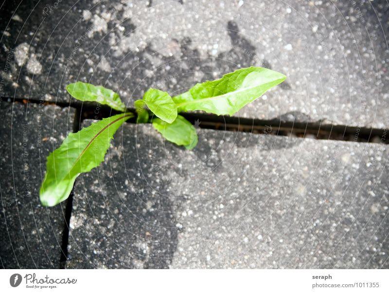 Löwenzahn Halm Botanik Durchbruch Blattgrün Beton Backstein Riss Stein Pflanze Blume Gras Boden Wachstum Kräuter & Gewürze Leben Überleben natürlich Natur