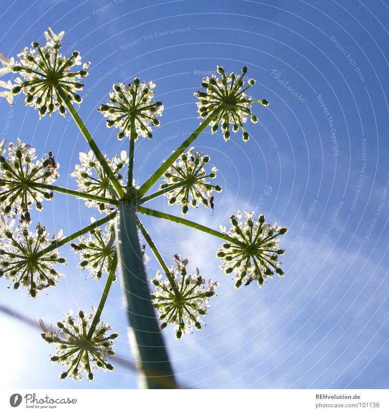 sternsche im sommer Pflanze Blume Blüte Wachstum Froschperspektive streben grün Wiese Wolken schön Sommer Himmel blau hoch Blühend Stern (Symbol) xxee