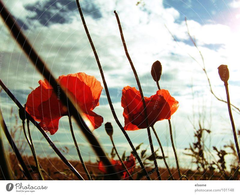 dreamlover Mohn Blume Pflanze Feld Wolken Blüte rot grün weiß träumen himmlisch schön Sommer Dresden Riesa Himmel Natur Sonne blau Erde lienien Prima früling