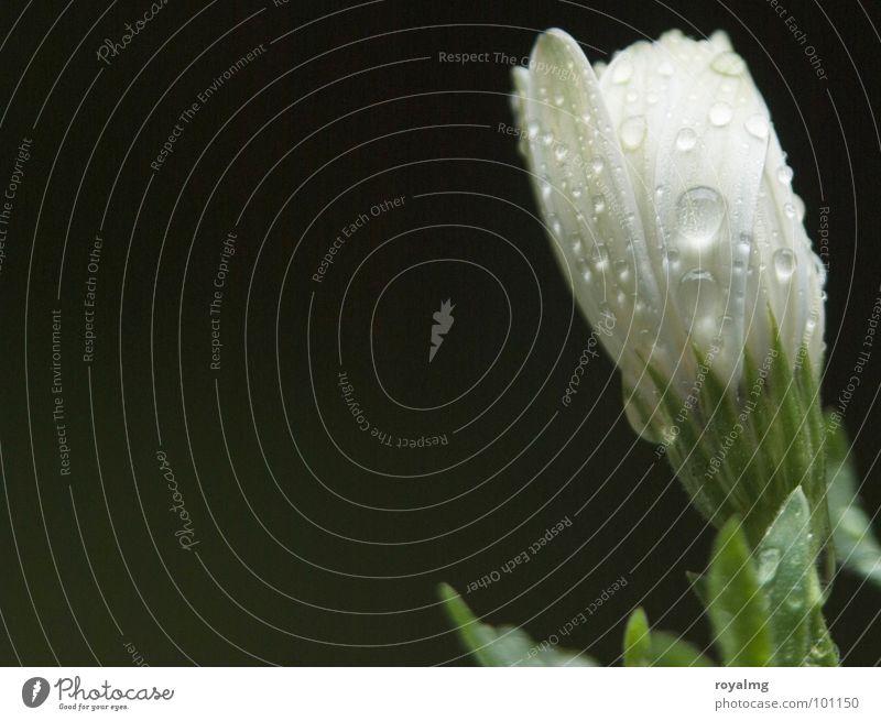 summer rain Natur weiß Blume Frühling Regen Wassertropfen Blütenknospen