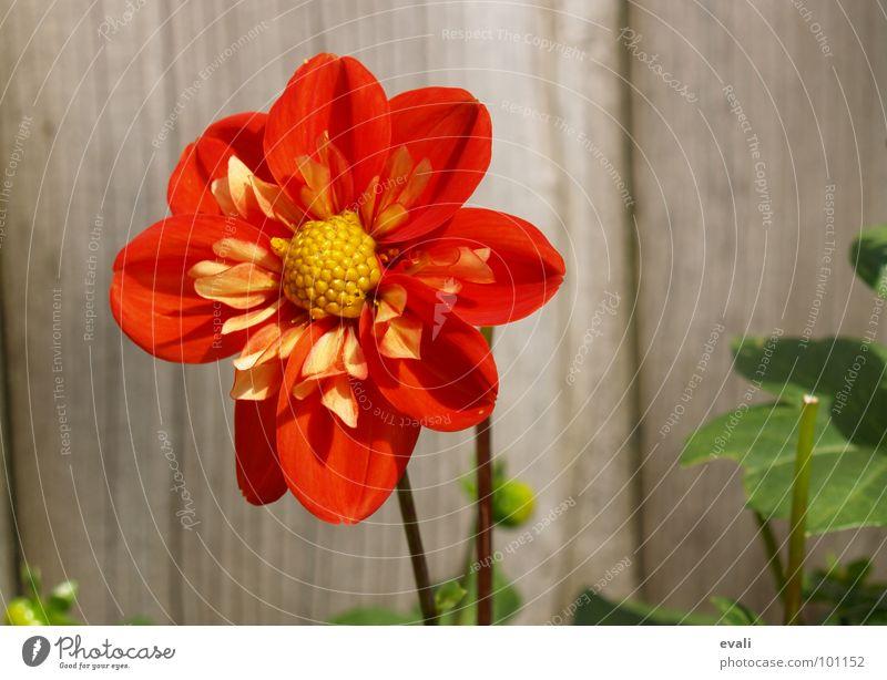 Sonnenanbeterin Blume Blüte Dahlien Stengel Frühling Sommer rot gelb Zaun Gartenzaun Holz springen Blühend Farbe bloom flower red fence dahlia Nektar