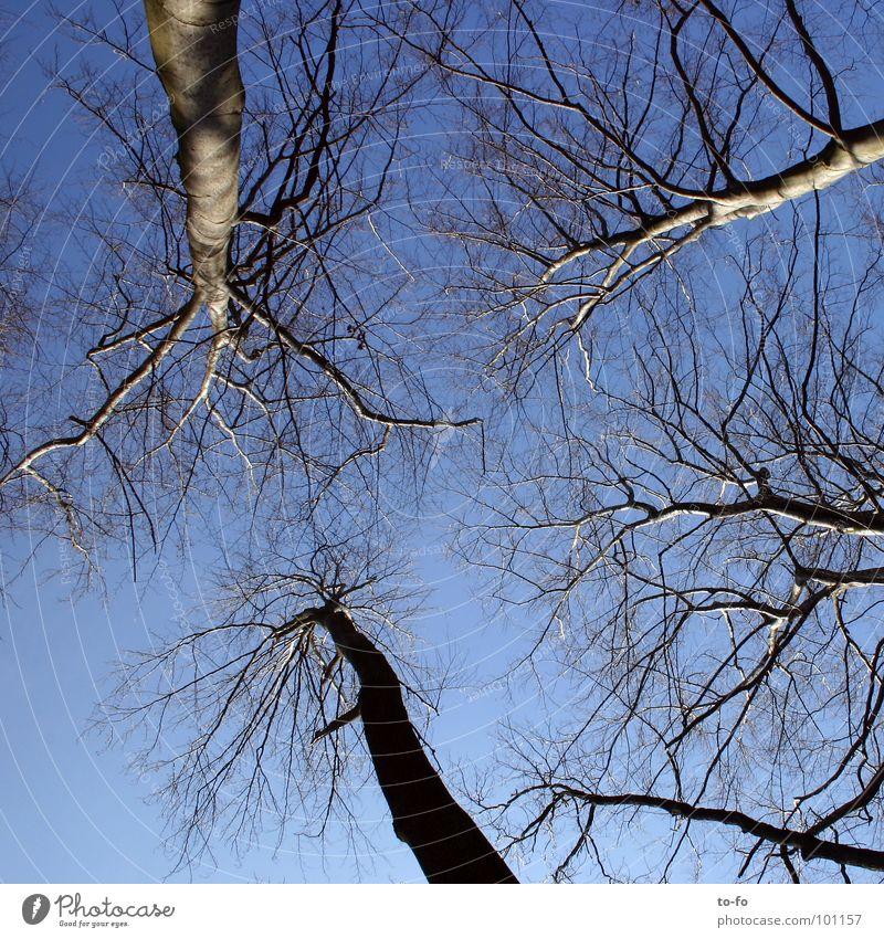 Himmel oben groß hoch Niveau aufwärts Baumstamm Baumkrone himmelblau Buche Firmament