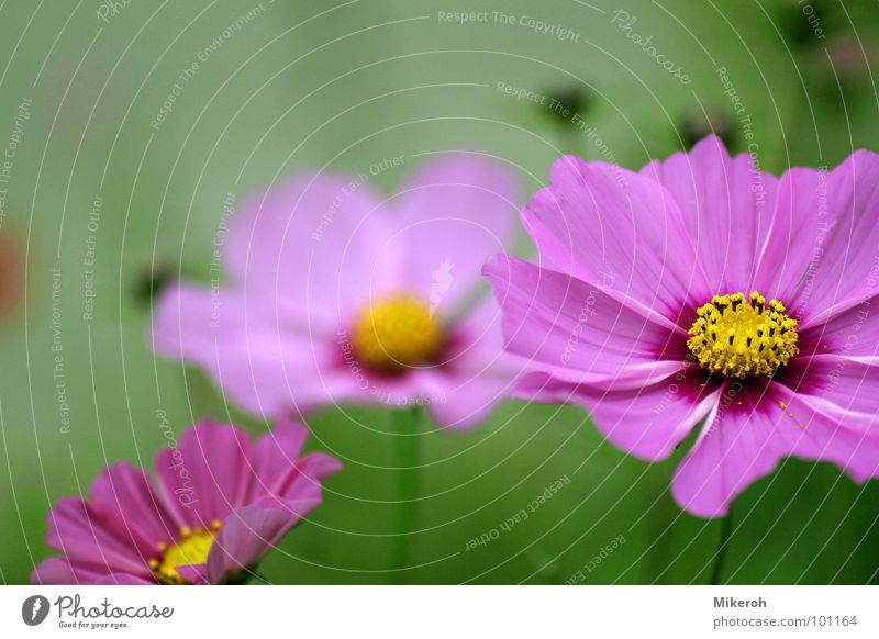 Wildblumen Blume rosa grün violett Nacht dunkel gelb Wiese Wiesenblume Blumenwiese Makroaufnahme schön Gras Stengel Halm Ähren glänzend weich Rauschen zart