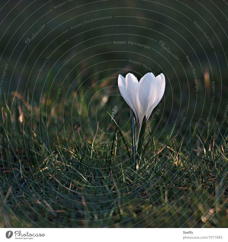 weißer Krokus blühender Krokus Frühblüher Frühlingsblume Frühlingsblüte Frühlingskrokus weiße Blume Lichtreflexe Lichtspiegelung Achtsamkeit Frühlingsimpression