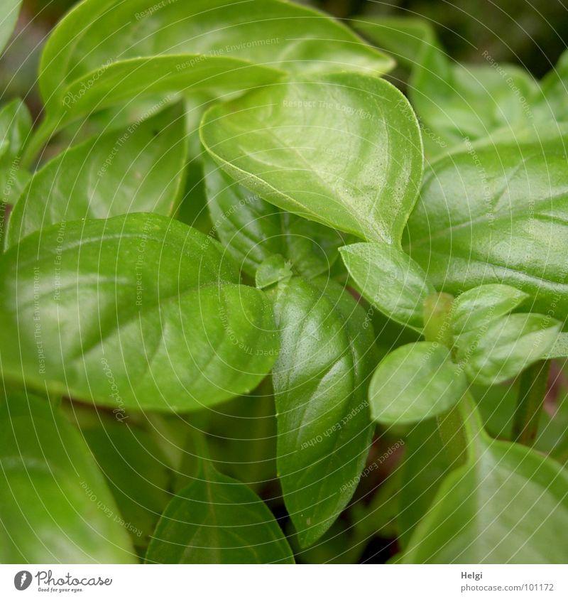 Basilikum grün Sommer Blüte Garten Gesundheit Park Zusammensein glänzend Wachstum Kochen & Garen & Backen Küche Italien Kräuter & Gewürze Stengel lecker Ernte